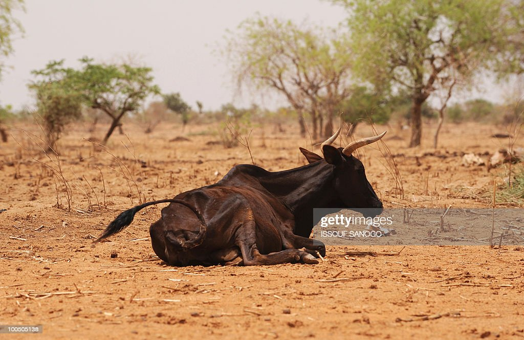 A Starving cow is seen near Ouahigouya, north of Burkina Faso, on May 9, 2010. The government of Burkina Faso implemented food sales in April, in the northern part of the country, to fight against a food crisis and drought. Food was sold at preferential prices in the most vulnerable regions of the country.