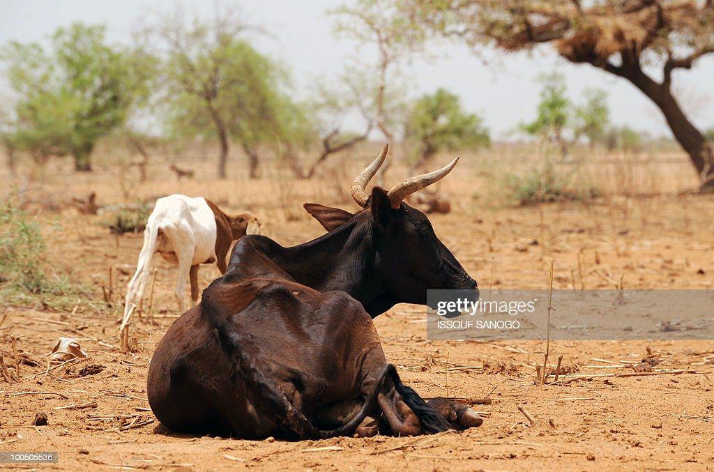 Starving cows are seen near Ouahigouya, north of Burkina Faso, on May 9, 2010. The government of Burkina Faso implemented food sales in April, in the northern part of the country, to fight against a food crisis and drought. Food was sold at preferential prices in the most vulnerable regions of the country.