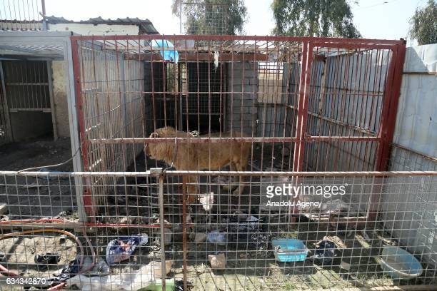 A starving lion named 'Simbo' is seen in its cage at ruined Muntazr alNour zoo in Mosul Iraq on February 9 2017 The animal park has been destroyed...