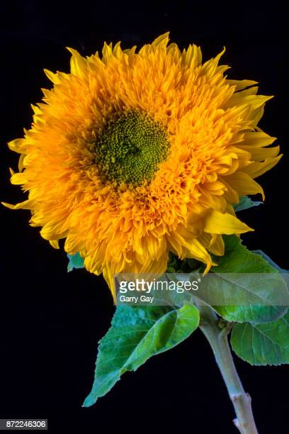 Stately Sunflower