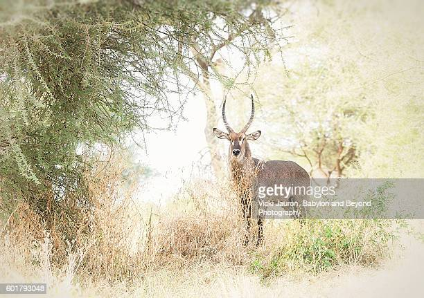 stately waterbuck looking at camera in tarangire national park, tanzania - tarangire national park stock pictures, royalty-free photos & images
