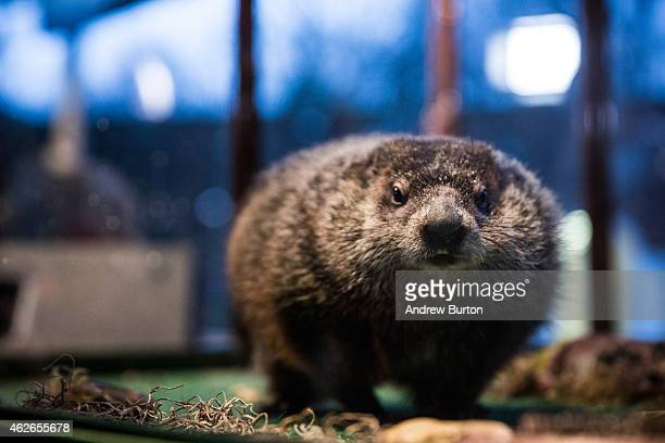 Staten Island Chuck a groundhog who according to tradition looks for his shadow to predict whether or not the region will experience six more weeks...