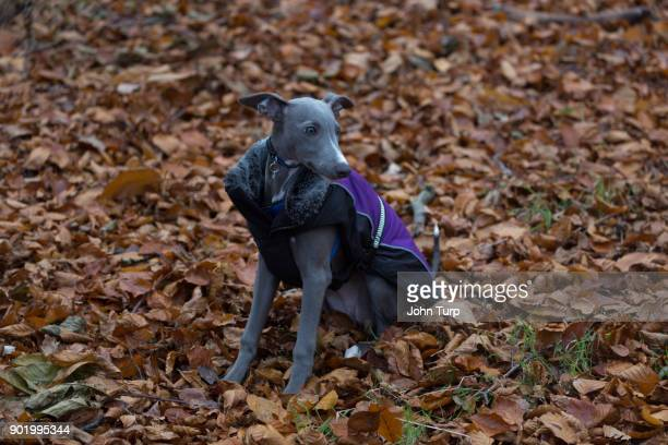 whippet sitting bed autumn leaves looking