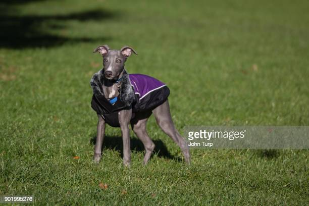 whippet grass staring towards camera