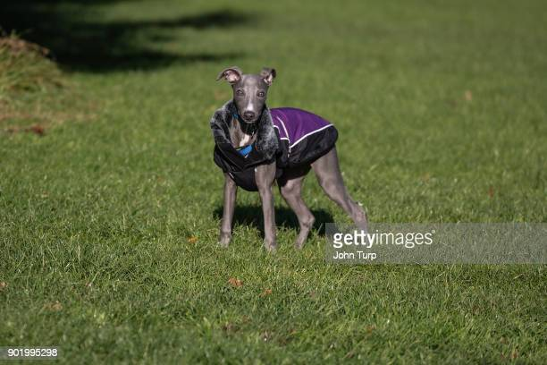 medium shot whippet standing grass looking