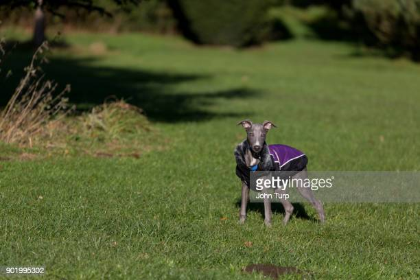 whippet grass dressed purple jacket staring