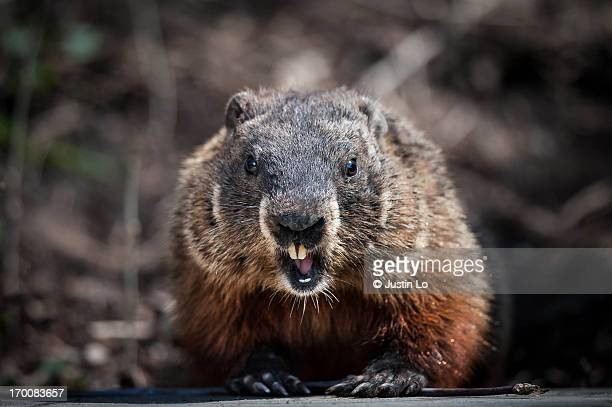 stay back! - woodchuck stock pictures, royalty-free photos & images