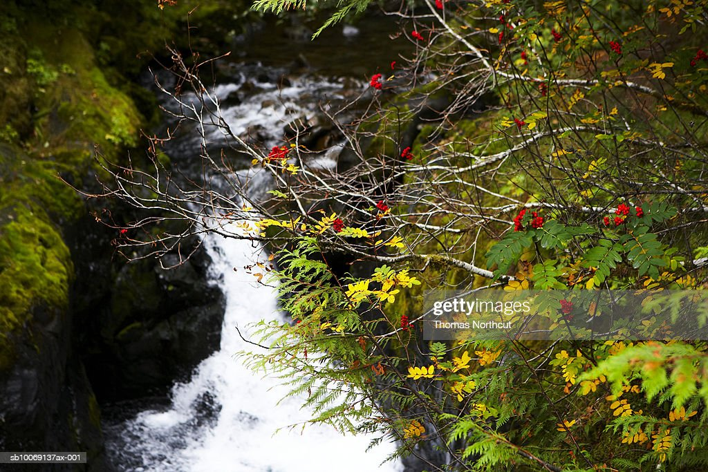 Steam and rowan tree in forest : Stockfoto