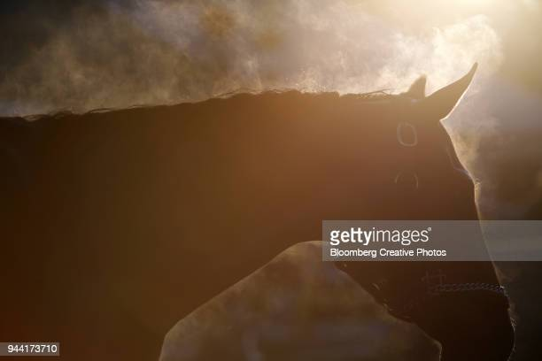 steam rises from a thoroughbred race horse - racehorse stock-fotos und bilder