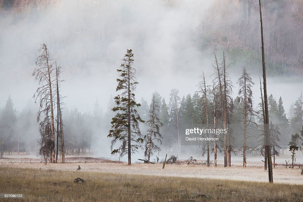 Steam risin through conifer trees, Wyoming, USA : Stock-Foto