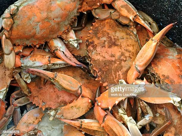 steamed maryland blue crabs - maryland blue crab stock photos and pictures