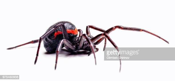steatoda paykulliana - spider stock pictures, royalty-free photos & images