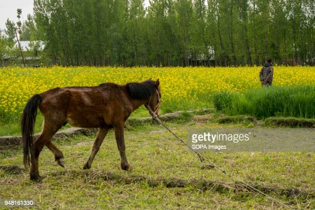 A steed is tied as a man walks infront the rape seed in the outskirts of Srinagar the summer capital of Indian administered Kashmir India According...