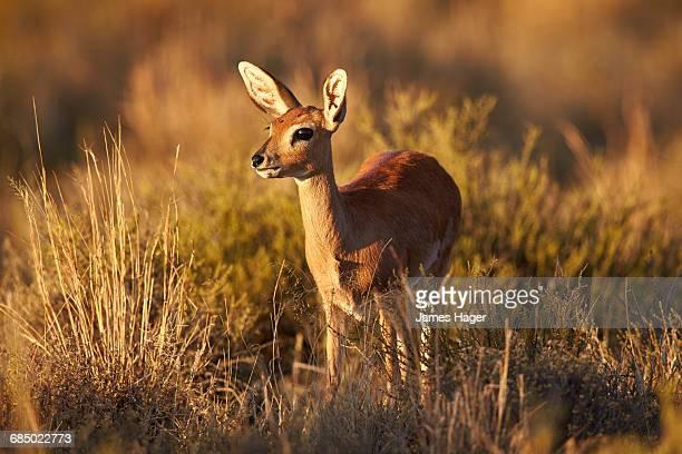 Steenbok (Raphicerus campestris), female, Mountain Zebra National Park, South Africa