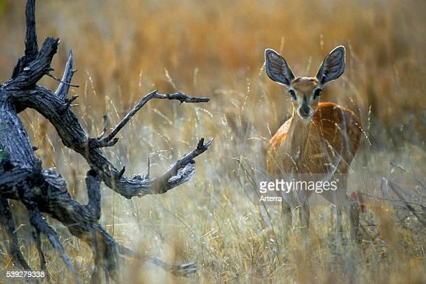 Steenbok in grassland on the savanna Kruger National Park South Africa