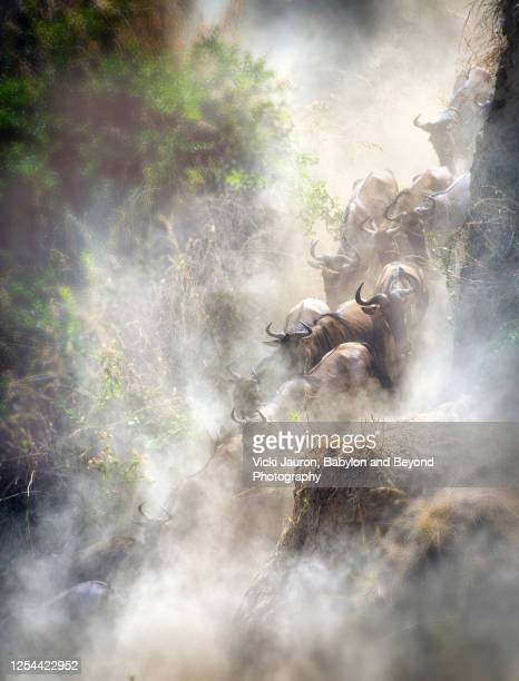 steep line of dust and wildebeest heading to mara river during migration - kenya stock pictures, royalty-free photos & images