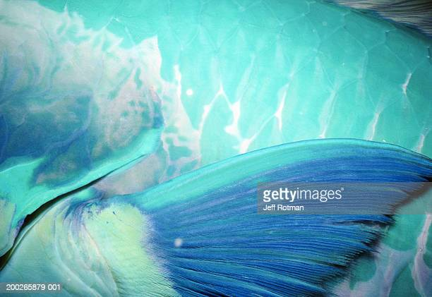 Steephead parrotfish (Chlorurus microrhinos), detail of pectoral fin