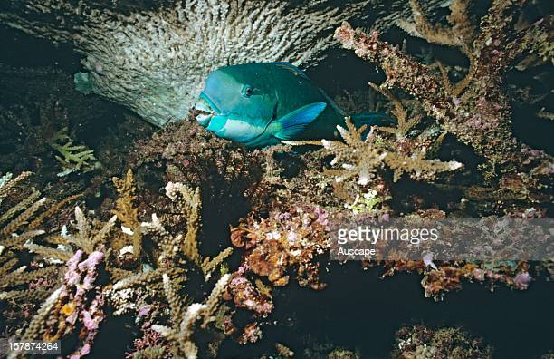 Steephead parrotfish males develop a hump on the head as they mature Great Barrier Reef Queensland Australia