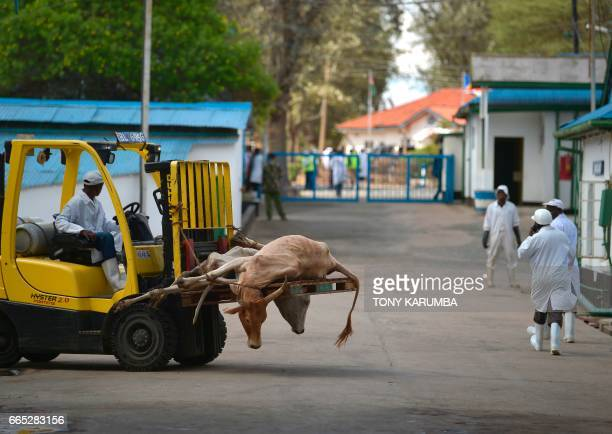 Steers are moved using a forklift at Kenya's main abbatoir the Kenya Meat Commission's Athi River plant in Machakos county on April 4 2017 Formed in...