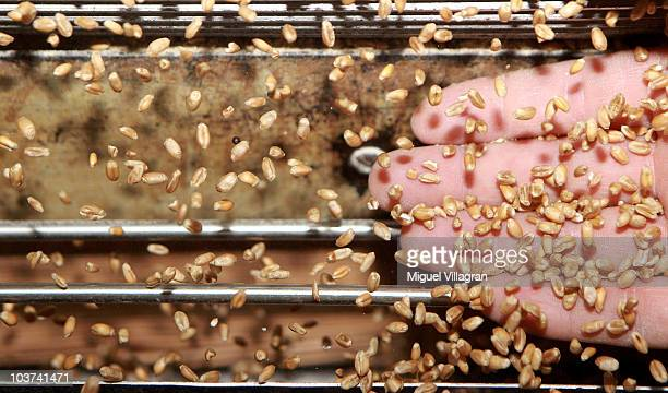 Stefan Blum controls the quality of wheat at the Hofbraeuhaus Kunstmühle mill on August 30 2010 in Munich Germany Fires in Russia and a...