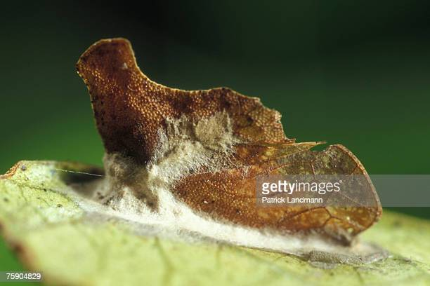 Stegaspis fronditia female The excrements are rejected in form of small sweetened droplets the honeydew This very sticking liquid is difficult to...