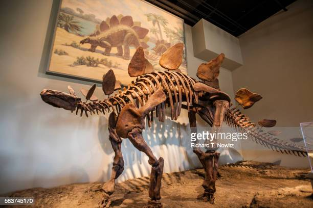 stegosaurs skeleton - field museum of natural history stock pictures, royalty-free photos & images