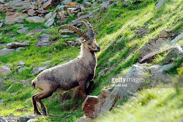 Steinbock Capra ibex Bock stehend an einem Steilhang Schweizer Alpen Abendlicht