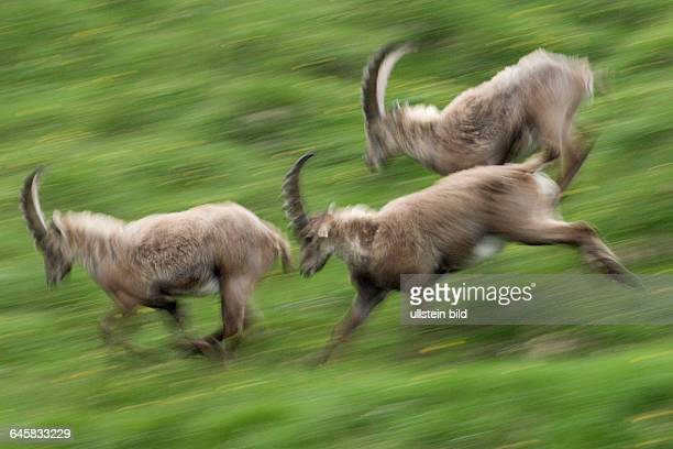 Steinbock im NP Hohe Tauernm Capra ibex