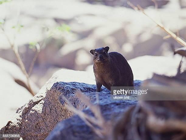 Steinhörnchen Republik Südafrika- 1993