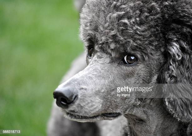 stella - standard poodle stock photos and pictures