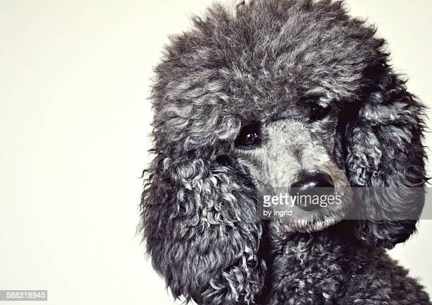 stella poodle - standard poodle stock photos and pictures