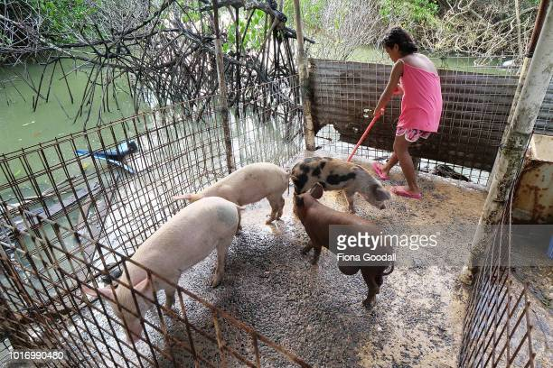 Stella Tefiti feeds and cleans the family pigs on August 15 2018 in Funafuti Tuvalu Pigs are one of the main sources of fresh meat on the islands and...