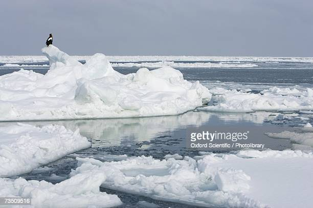 Stellars sea eagle (Haliaeetus pelagicus) perched on iceberg in sea of ice and snow, Sea of Okhotsk, Japan