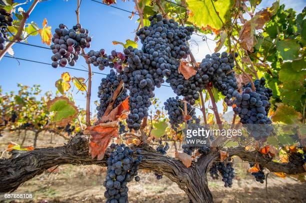 Stellenbosch South Africa grapes