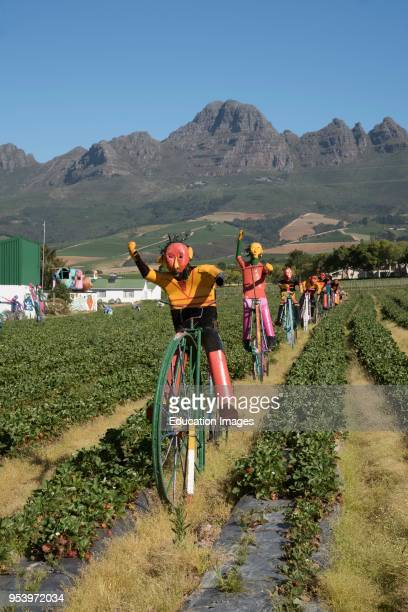 Stellenbosch to Somerset West road in the Western Cape South Africa Scarecrows on a strawberry farm