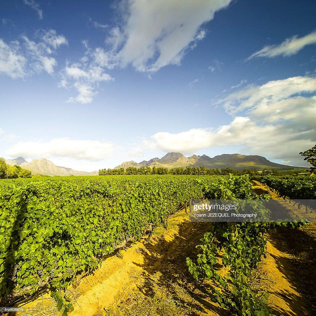 Stellenbosch vines, South Africa : Stock Photo