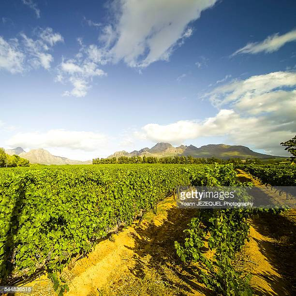 Stellenbosch vines, South Africa