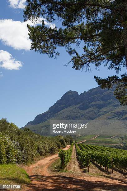 Stellenbosch vinyard