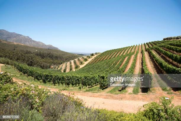 Stellenbosch Western Cape South Africa, Rows of vines growing on the lower slopes of the Simonsberg mountain.