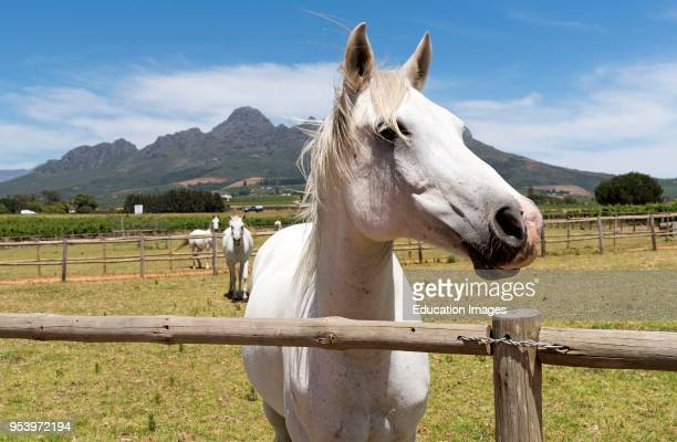 Stellenbosch Western Cape South Africa White horses out to graze on a stud close to Stellenbosch
