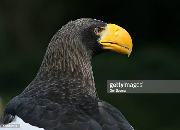 Steller sea eagle In Profile