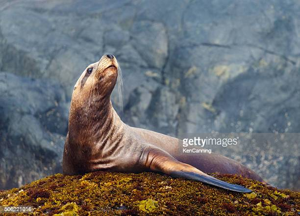 steller sea lion - seal animal stock pictures, royalty-free photos & images