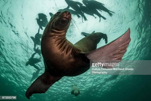Steller sea lion (Eumetopias jubatus), swimming underwater, low angle view, Hornby Island, Vancouver Island, British Columbia, Canada