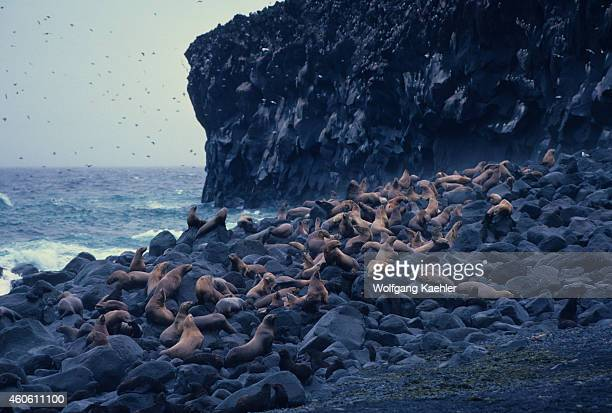 Steller Sea Lions also known as northern sea lions are the largest member of the Otariid family Here they are on a rocky beach of Bogoslof Island an...