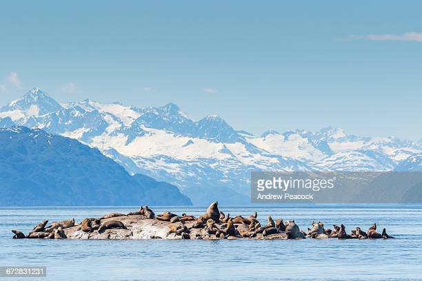 Steller Sea Lions, South Marble Island