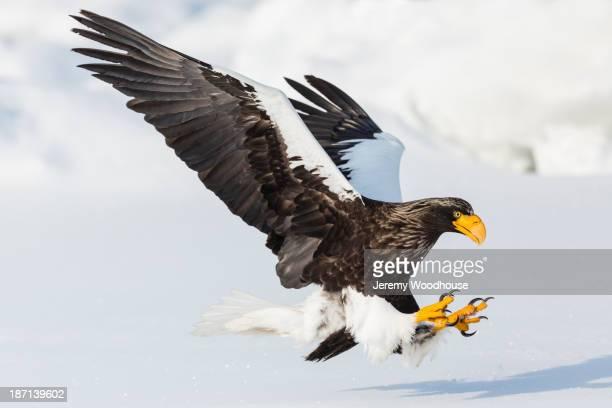 Steller's eagle landing in snowy landscape