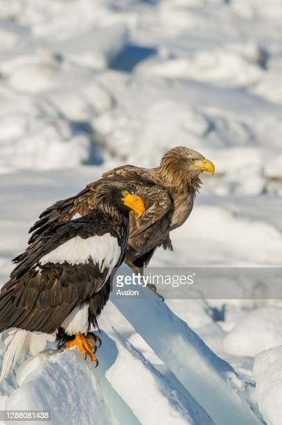 Stellers sea eagle and white-tailed eagle sitting on pack ice offshore the small town of Rausu, which is located on the east end of the Shiretoko...