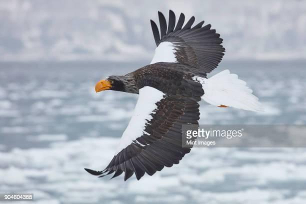 Stellers Sea Eagle, Haliaeetus pelagicus, flying across frozen bay in winter