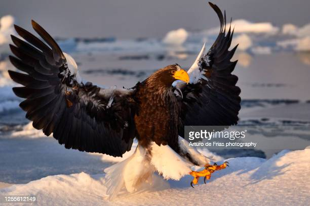steller's sea eagle in shiretoko peninsula, hokkaido, japan - sea of okhotsk stock pictures, royalty-free photos & images