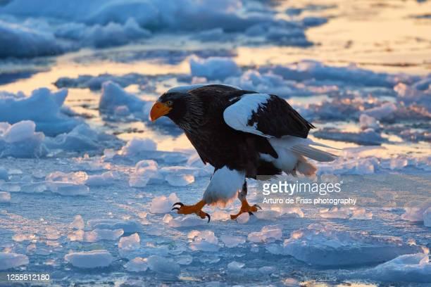 steller's sea eagle in shiretoko peninsula, hokkaido, japan - pack ice stock pictures, royalty-free photos & images